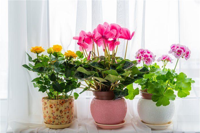 Три горшка с цветущими растениями на подоконнике