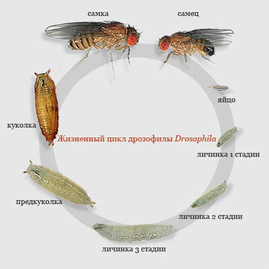 Жизненный цикл дрозофилы