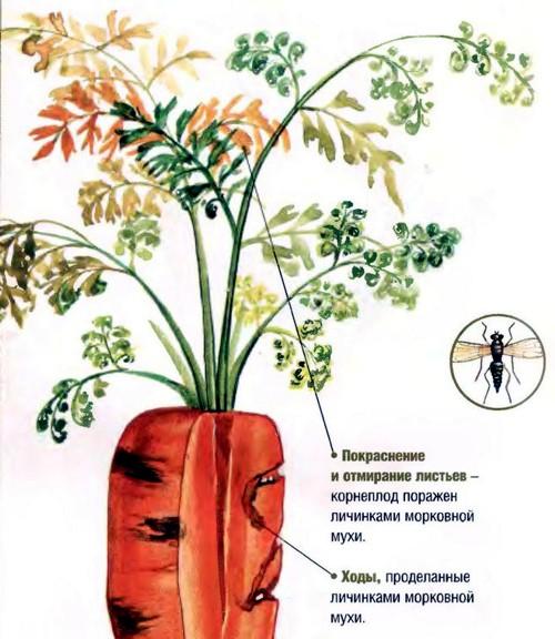 Признаки заражённой моркови