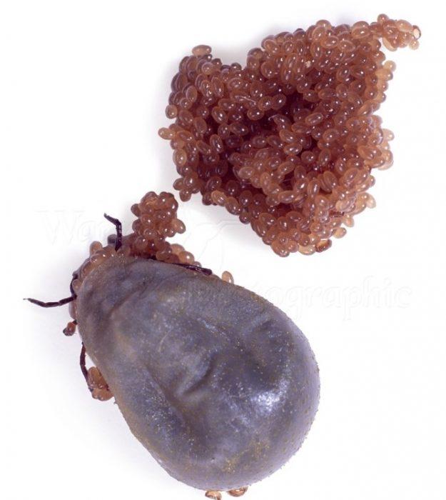 Клещ и отложенные им яйца
