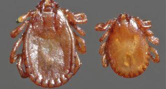 Представители рода Haemaphysalis
