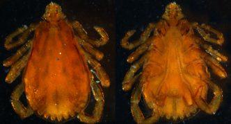 Представитель рода IxodesПредставители рода Boophilus