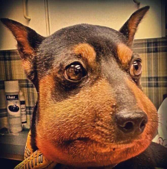 Укушенная шершнем собака