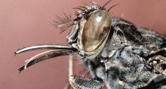 Голова мухи цеце