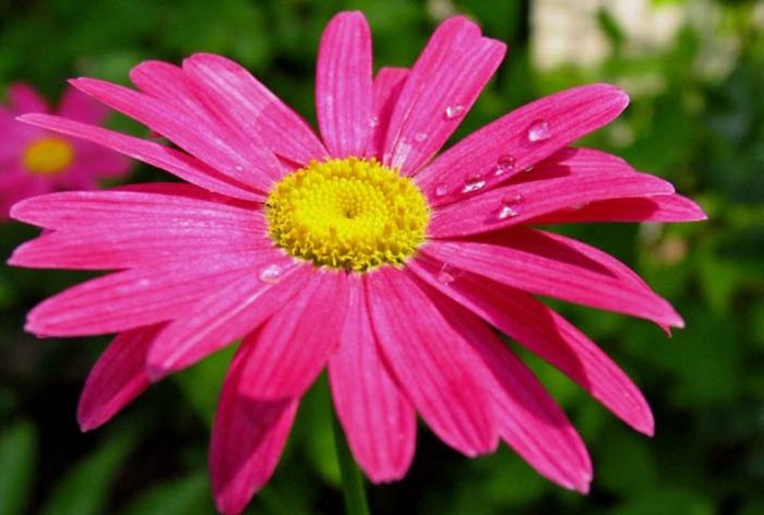 Ромашка кавказская розовая