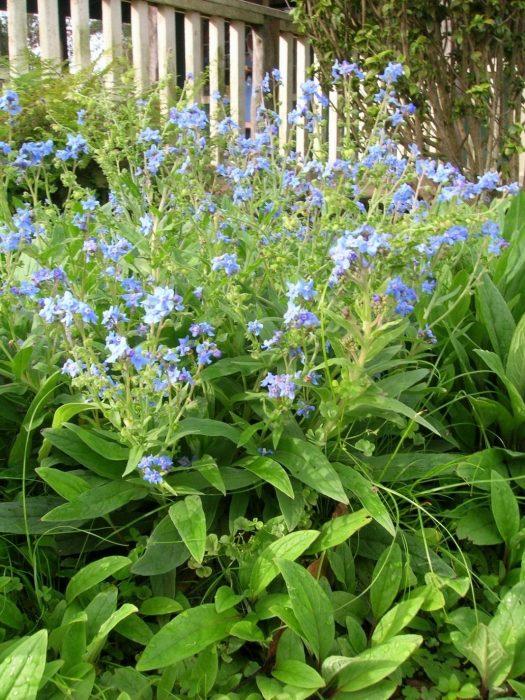 Чернокорень с голубыми цветками