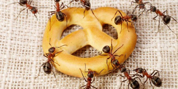 Домашние муравьи на хлебобулочном изделии