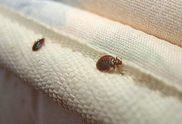 два клопа на чехле матраса