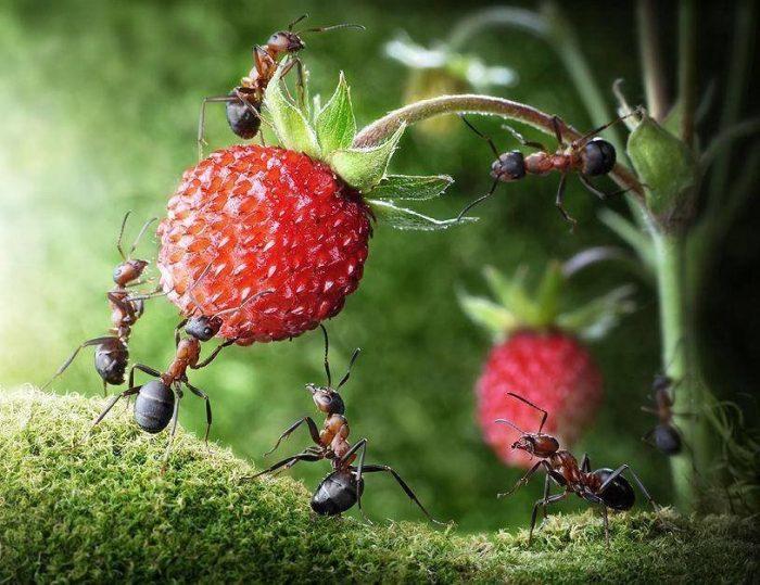 Ягоды земляники и муравьи