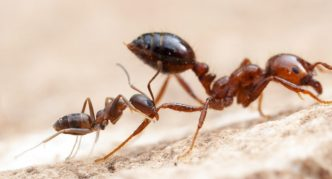 Красный огненный муравей