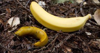 Банановый слизень и банан на земле