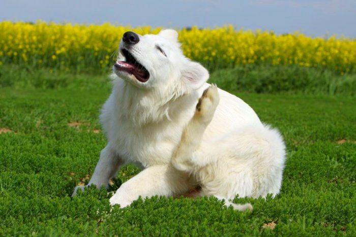Белая собака на траве