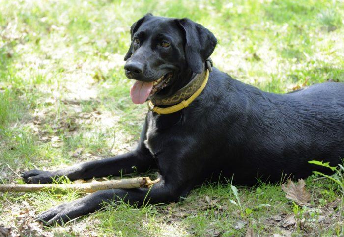 Собака в жёлтом ошейнике от клещей и блох