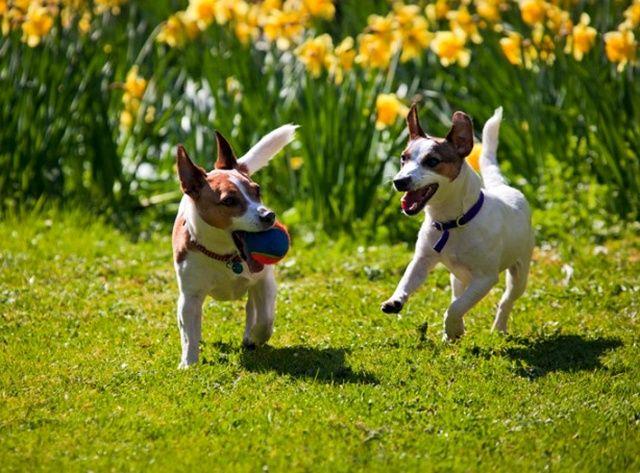 Две собаки играют с мячом