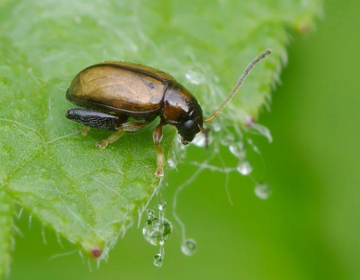 Крестоцветная блошка (жук-листоед)