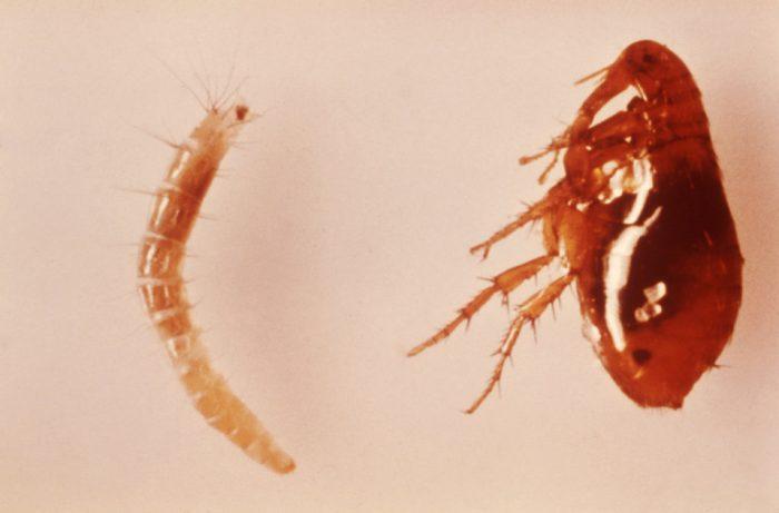 Личинка блохи и взрослое насекомое