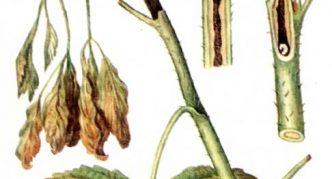 Личинка малинной стеблевой мухи в побеге