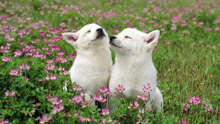 Белые собаки в траве