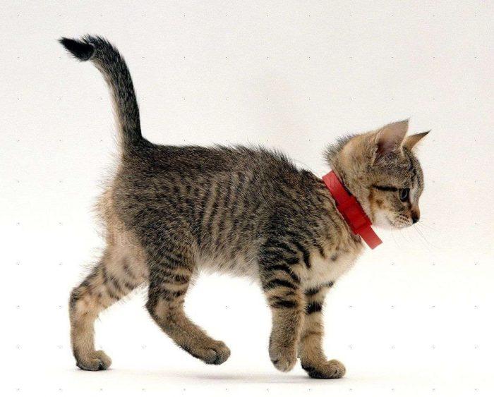 Котёнок в ошейнике от блох