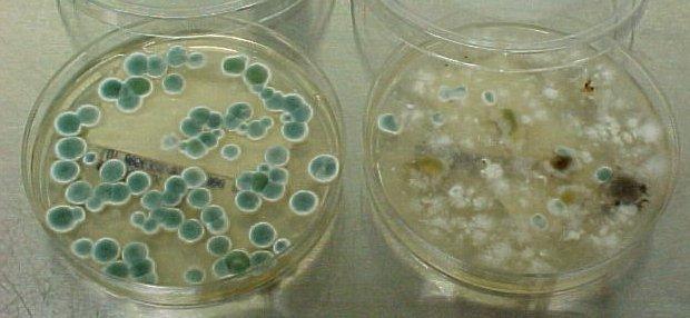 Cladosporium в масле