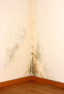 Chaetomium на стенах