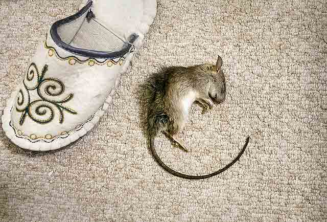 Мышь и тапок