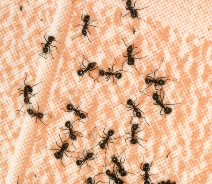 Сумасшедшие чёрные муравьи