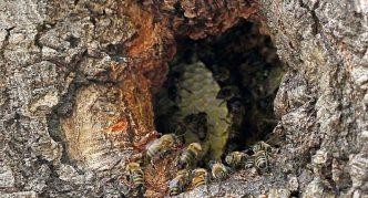 Пчелиный улей в дупле дерева