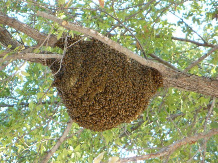 Лесные пчёлы