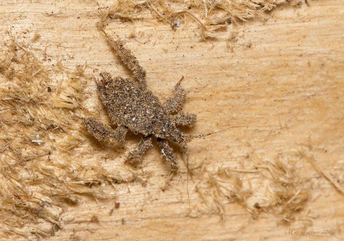 Личинка редувия ряженого