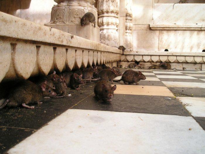 Большое количество мышей