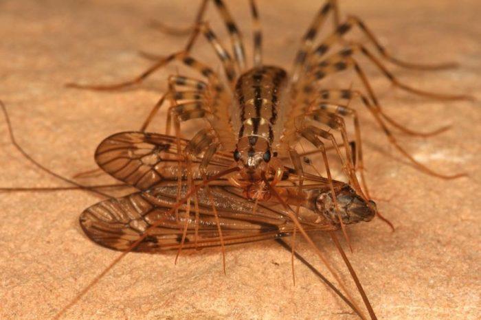 сороконожка домашняя с пойманной мухой