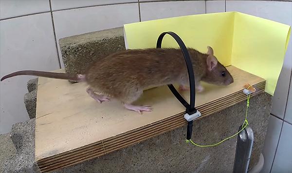 Крысоловка-удавка