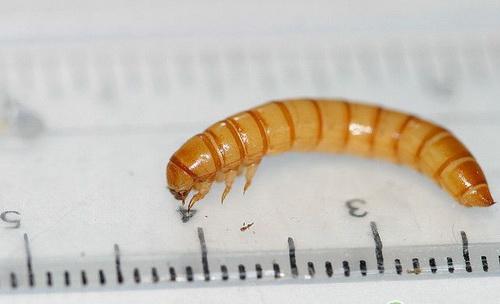 Личинка большого хрущака