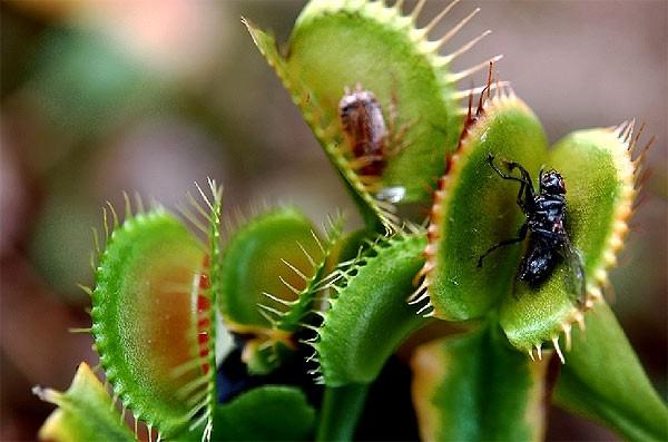 Растение мухоловка