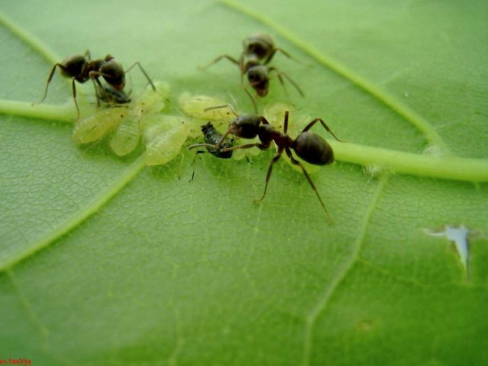 Тля и муравьи на листе