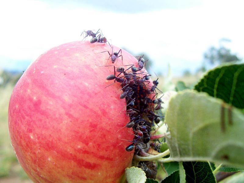 Народное средство от муравьев. Как вывести муравьев в квартире и на участке