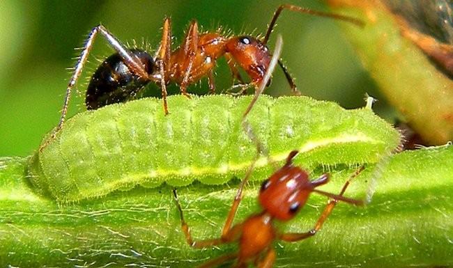 Муравьи и гусеница