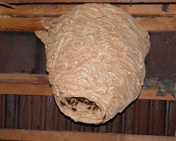 гнездо шершней вид сбоку