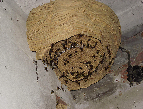 гнездо шершней изнутри