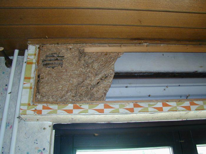 гнездо шершня в доме за карнизом