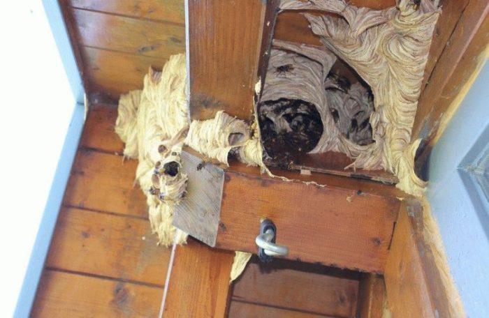 гнездо шершней неправильной формы