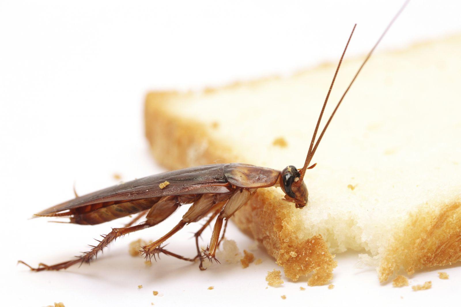 Борная кислота против тараканов: средство, проверенное временем