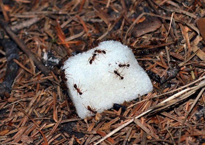 Муравьи на куске сахара