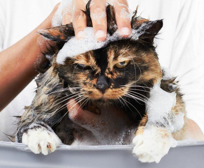 Нанесение шампуня на кота
