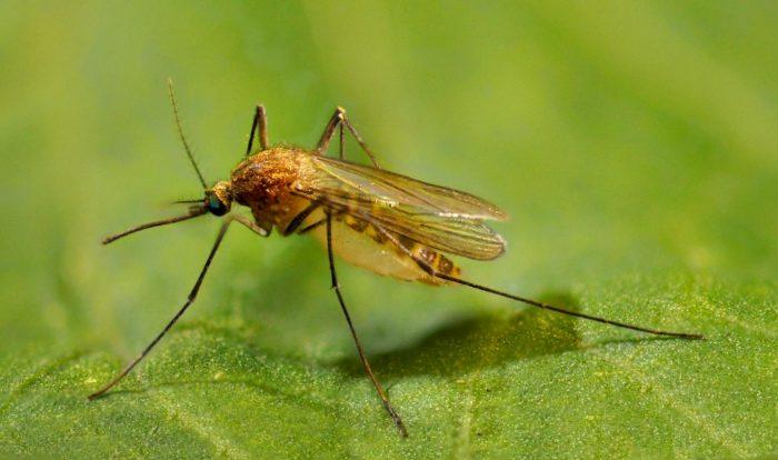 Комар на листе растения