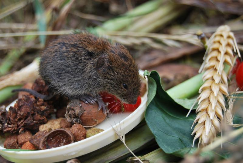 Водяные крысы на садовом участке