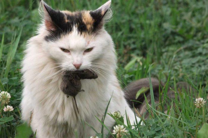 Кошка поймала полёвку