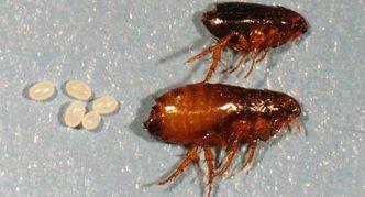 Человеческая блоха (самец и самка) и ее яйца