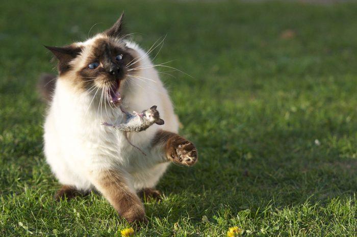 Кот ловит мышь